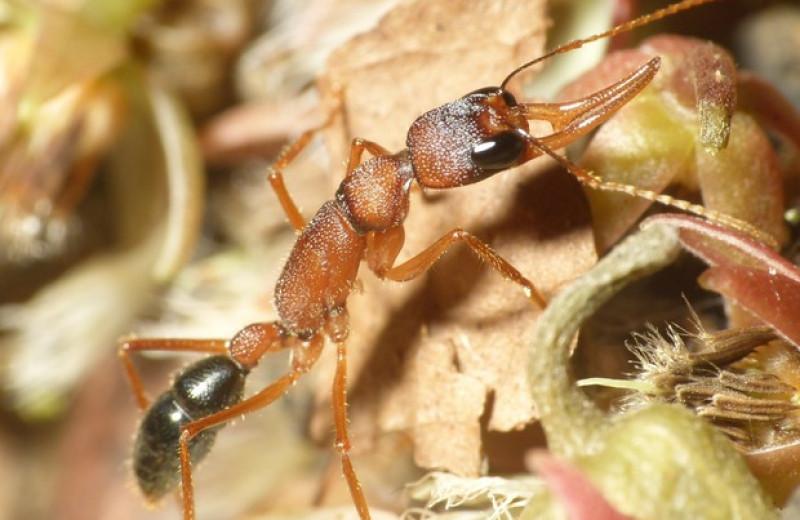 Отказ от размножения помог муравьям восстановить утраченный объем мозга