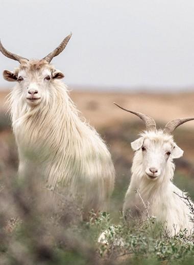 Любовь к козам, понятная без слов