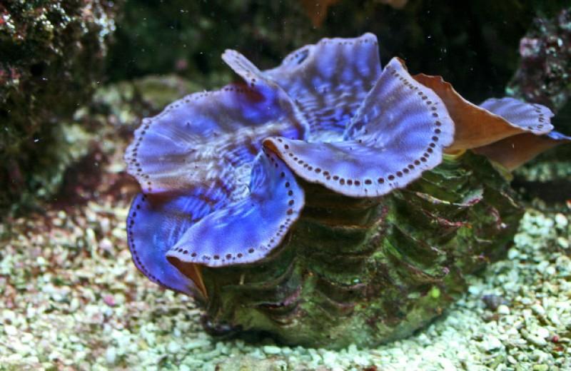 Пигменты гигантских моллюсков перевели ультрафиолет в нужный фотосимбионтам свет