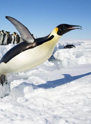 В Антарктиде исчезла вторая по величине колония императорских пинвинов