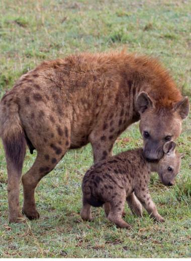 Почему самки гиен убивают детенышей