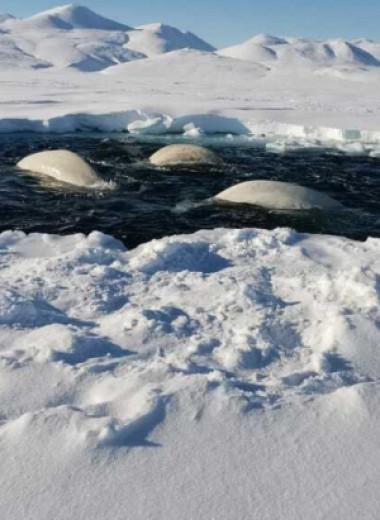На Чукотке замечены белухи в ледовом плену