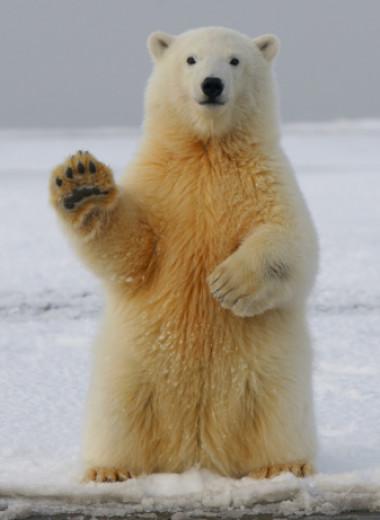 Правда ли, что у белых медведей прозрачная шерсть и черная кожа
