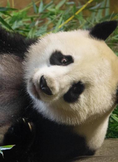 Панда учится прятаться под одеяло: видео