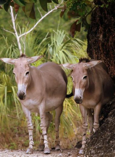В британском зоопарке родился африканский дикий осел — одно из редчайших животных в мире