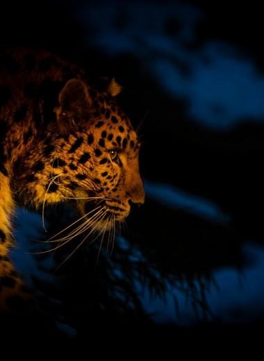 Пятнистое древо жизни: в «Земле леопарда» впервые составили родословную амурских леопардов
