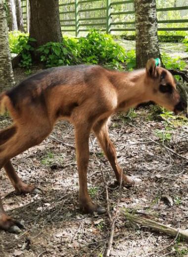 Два северных лесных олененка родились в Центре воспроизводства Московского зоопарка