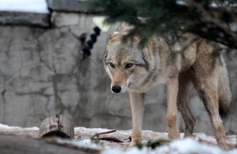 В Висконсине несмотря на протесты одобрили убийство 300 волков этой осенью