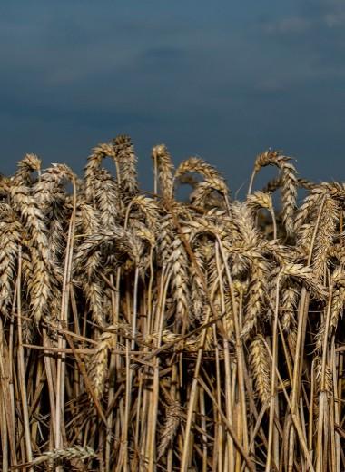 Зерно вне закона. Почему России не поможет рекордный урожай