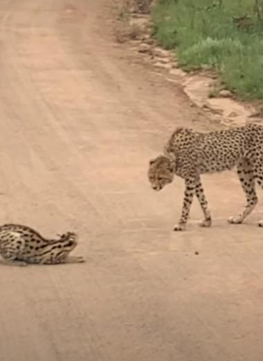 Противостояние сервала и гепарда: видео