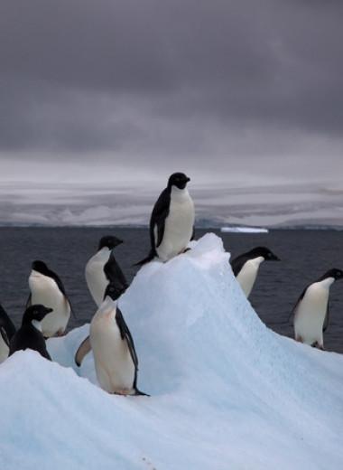 В Антарктиде оттаяла древняя колония пингвинов Адели возрастом около пяти тысяч лет