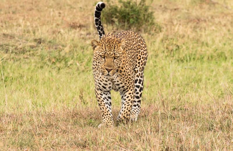 Леопард сорвал скальп с немецкого туриста в Намибии