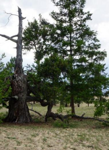 Составлен топ-5 самых старых деревьев России