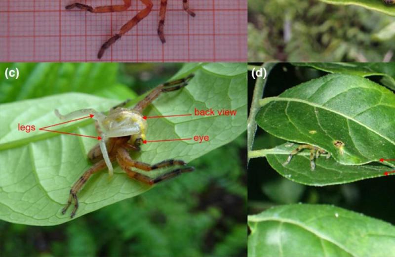 Мадагаскарских пауков заподозрили в охоте на лягушек с помощью ловушек из листьев