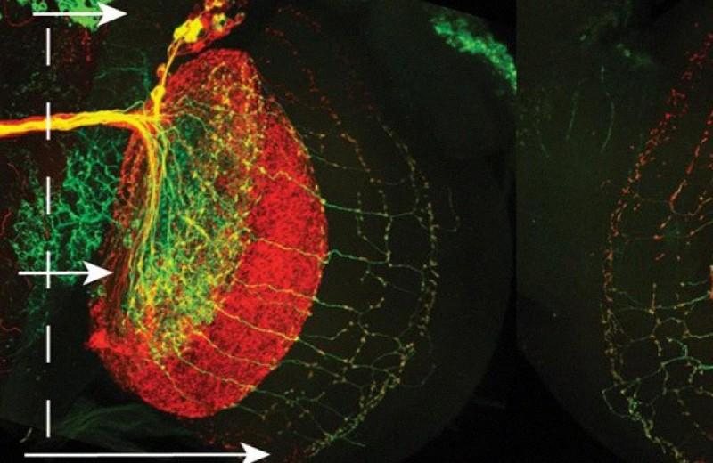 Ненаследуемые особенности строения мозга определили поведение дрозофил