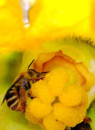 Обычный почвенный пестицид сокращает воспроизводство пчел на 89 процентов