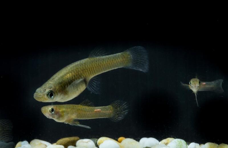 Как рыбы выбирают партнера для секса