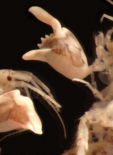 Самая быстрая клешня на дне океана: удивительный бокоплав