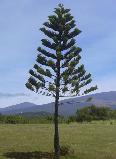 Сосны Кука: деревья, которым хочется на экватор