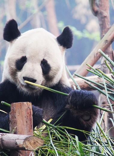 Панда гуляет по китайской деревне: видео