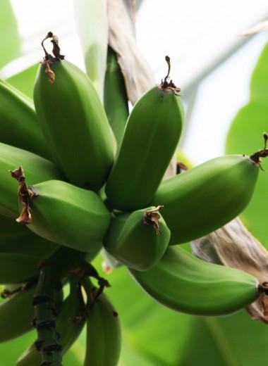 Бананы из Исландии: северное чудо