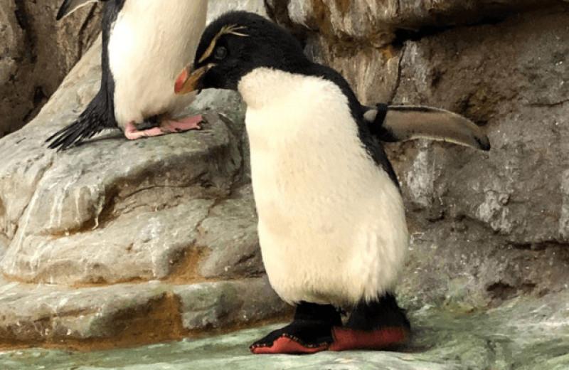 Пожилой пингвин с артритом из зоопарка Сент-Луиса получил терапевтические ботинки