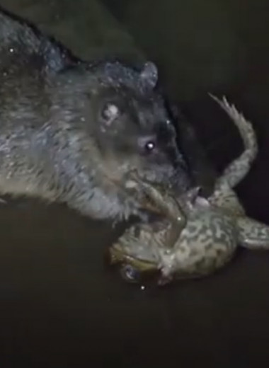 Крыса заживо поедает ядовитую жабу: как она это делает?