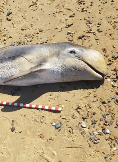 В желудке мертвого дельфина нашли резиновую перчатку