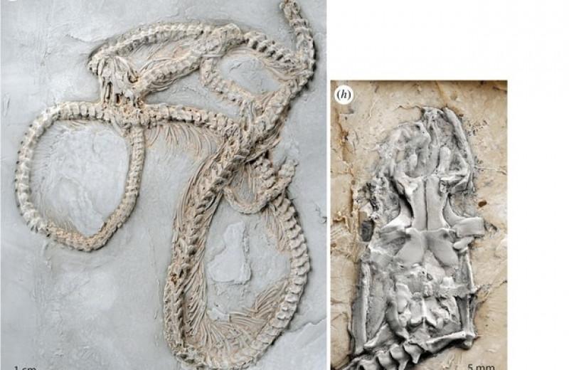 В Германии нашли окаменелости древнейшего питона