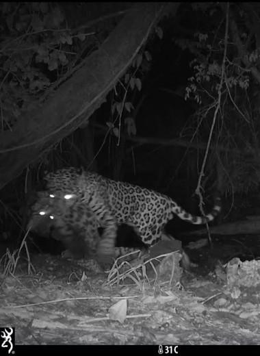 Ягуар, убивающий меньшего собрата, впервые попал на камеру