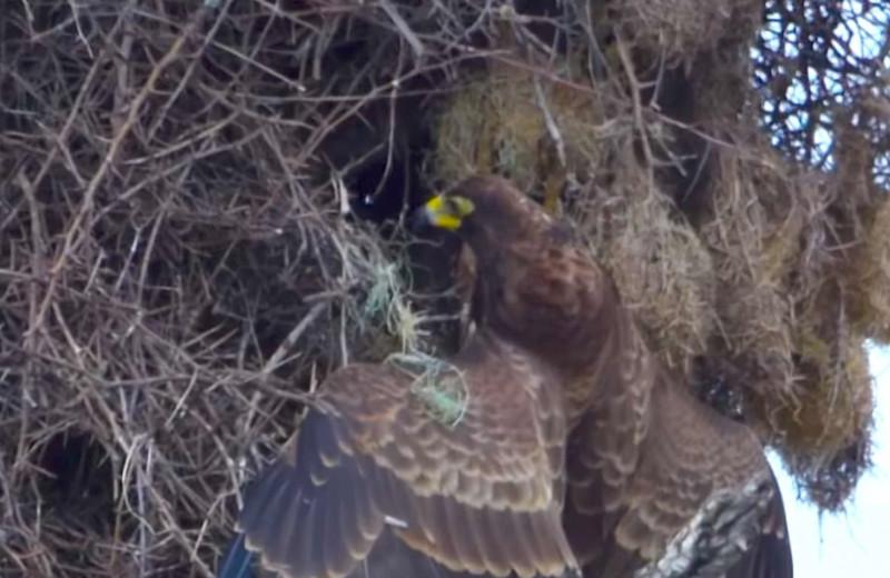 Ястреб разоряет птичье гнездо: видео