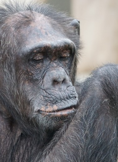 Отчего сердце человека приобретает обезьяньи черты?