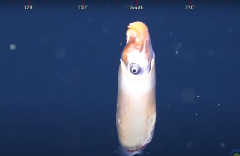 Головоногий моллюск спирула впервые попал на видео и шокировал ученых