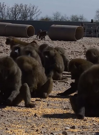 Группа обезьян совершила дерзкий побег из лаборатории в Техасе