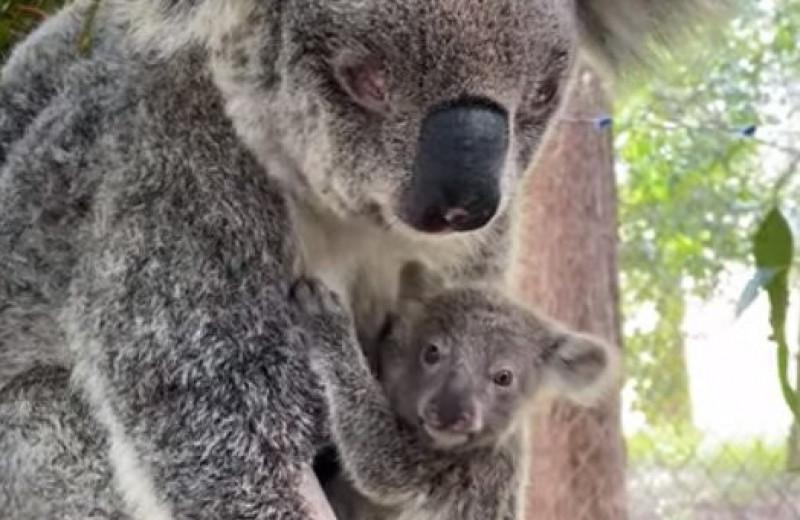 Спасение слепой коалы и ее детеныша: видео