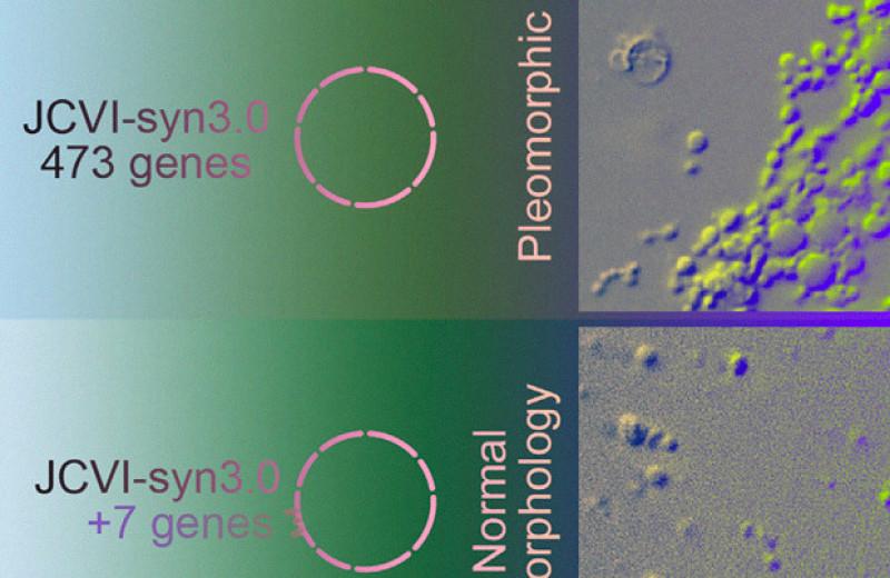 Искусственные клетки с минимальным геномом смогли нормально поделиться