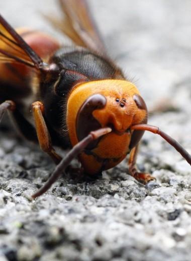 В США опасаются нашествия шершней-убийц