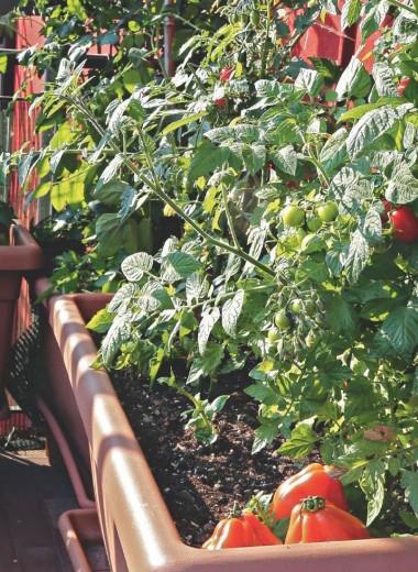 Огород в квартире: что можно вырастить на балконе и подоконнике