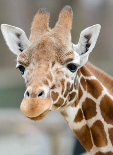 Ген жирафа защитил мышей от гипертонии и сделал их кости прочнее