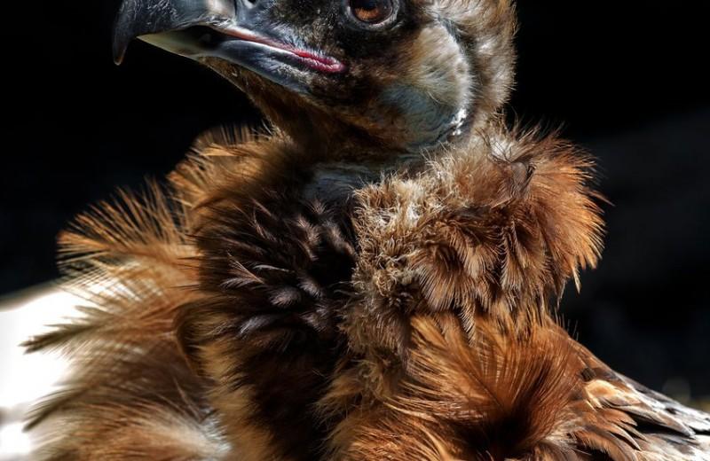 Секрет некрофагов: как грифы едят мертвечину и остаются здоровыми