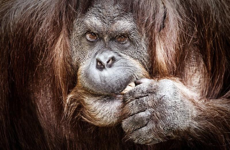 Орангутаны научились играть на музыкальном инструменте. Как это связано с речевым аппаратом?