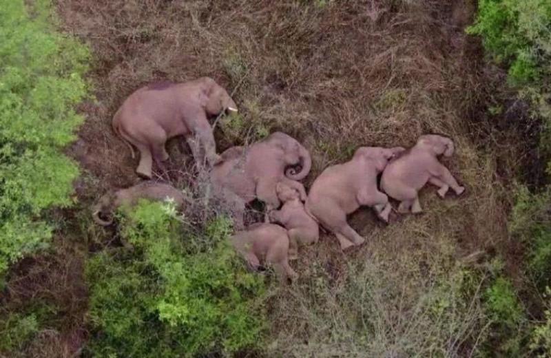 Стадо бродячих слонов разоряет Китай и отдыхает в перерывах