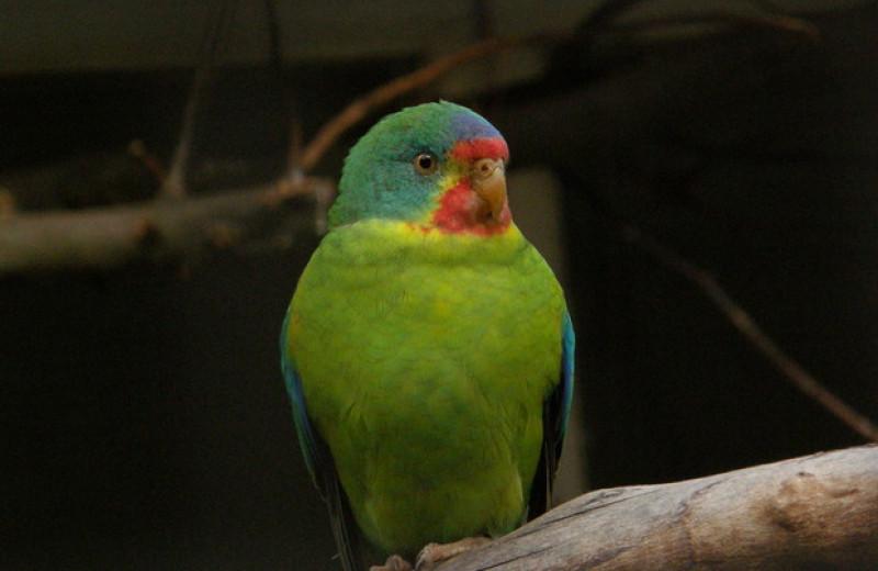 Вымирающие попугайчики в ответ на дефицит самок озаботились благополучием сыновей