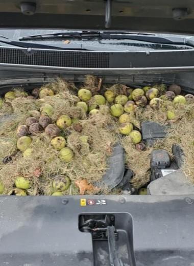 Беличьи закрома: грызуны спрятали кучу грецких орехов под капотом машины