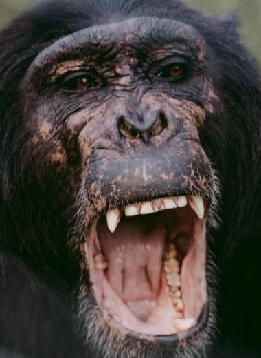 Шимпанзе испугались детеныша-альбиноса и убили его