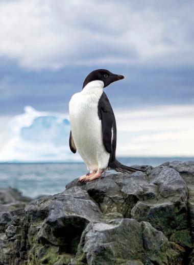 Необычная охота пингвинов