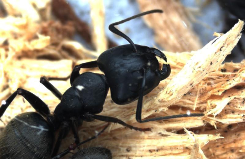 «Никуда друг без друга»: как муравьи образовали единый сложный организм с бактериями