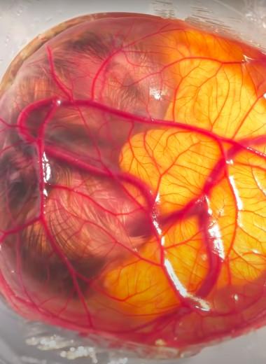 Из эмбриона в цыпленка: видео превращения в стеклянном «яйце»