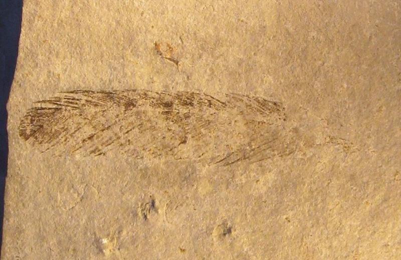 Древнейшее ископаемое перо вновь приписали археоптериксу