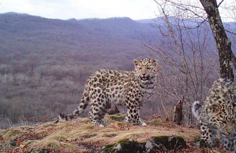 Место встречи дальневосточных леопардов: видео